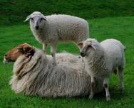 Cordeiros - o desmame tem grande importância  para um sistema de criação de qualidade