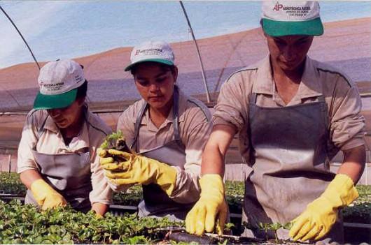 Café orgânico - produção de mudas de meio ano e de um ano