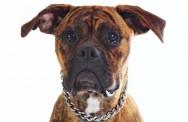 Raças de cachorro - Boxer