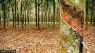 Doenças da Seringueira - Oídio, Mancha Concêntrica e Mancha Alternaria