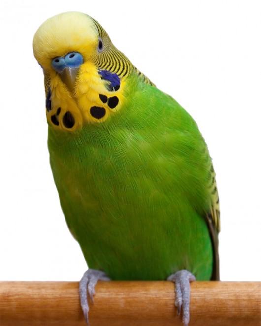 Cuidados especiais com o periquito australiano