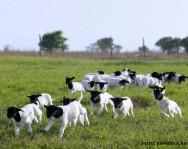 Cordeiros - o fornecimento de grãos inteiros diminuem os custos de alimentação
