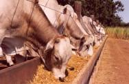 Aprenda Fácil Editora: Formulação de ração para bovinos