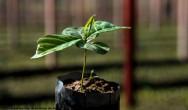 Café orgânico - cuidados de instalação e dimensionamento do viveiro