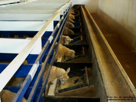 Cordeiros - sistema de confinamento tem forte influência na qualidade da carne