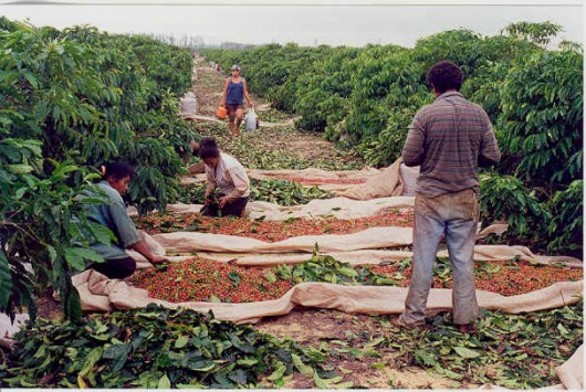 Café orgânico é livre de agrotóxicos, não agride o meio ambiente e preserva a natureza