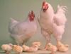 Abate de aves, exigência de qualidade da granja ao abatedouro