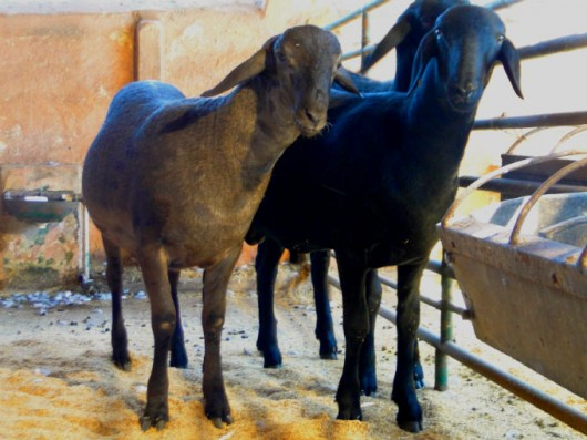 Cordeiros - a importância do fornecimento de proteínas e micronutrientes na dieta alimentar