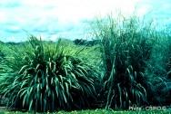 Aprenda Fácil Editora: Plantas Forrageiras: Capim gambá