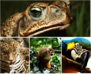 A fauna Amazônica compreende 4.211 espécies, 80% das espécies animais do Brasil e 9% do total mundial