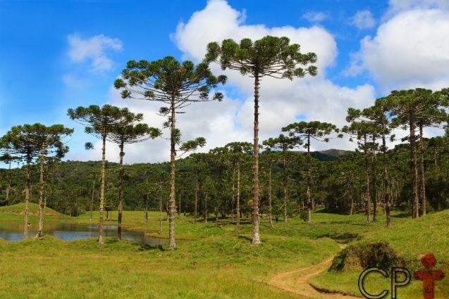 Biomas do Brasil - Mata dos Pinhais Artigos    Cursos CPT