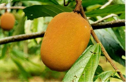 O cupuaçu e seu cultivo | Cursos a Distância CPT