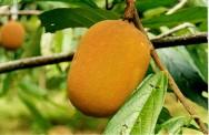 O cupuaçu e seu cultivo