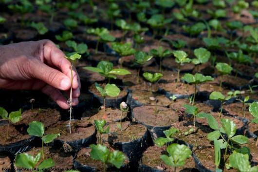 Café orgânico - produção de sementes pré-germinadas para o cultivo