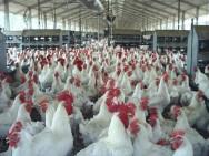 Aprenda Fácil Editora: Criação de frangos de corte: manejo adequado