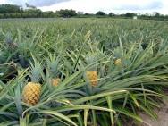 Aprenda Fácil Editora: Produção de abacaxi:principais tratos culturais