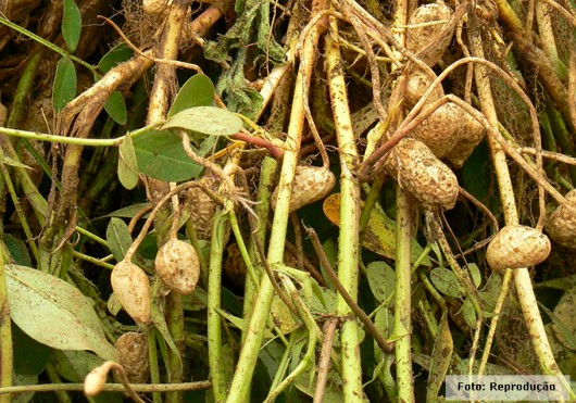 Produção de Amendoim - pragas que atacam o amendoinzal