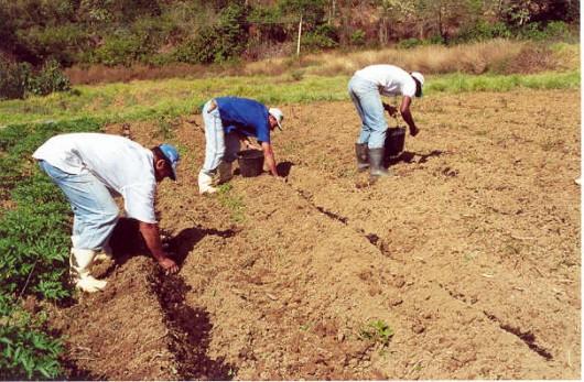 Taro orgânico - tratos culturais, pragas e doenças, e colheita e pós-colheita