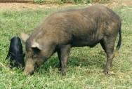 Aprenda Fácil Editora: Criação de suínos: raças nacionais