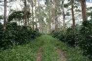 Café Orgânico - áreas com remanescências e policultura