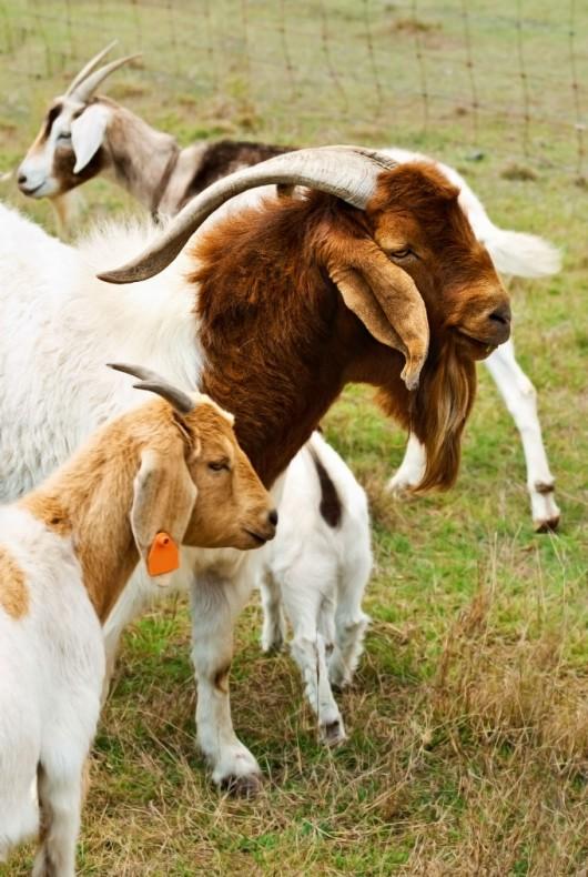 Criação de caprinos de corte - início da atividade reprodutiva das cabras