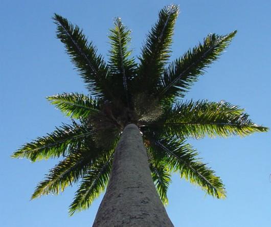 Palmito da Palmeira-Real - qualidade, rendimento e valores nutricionais