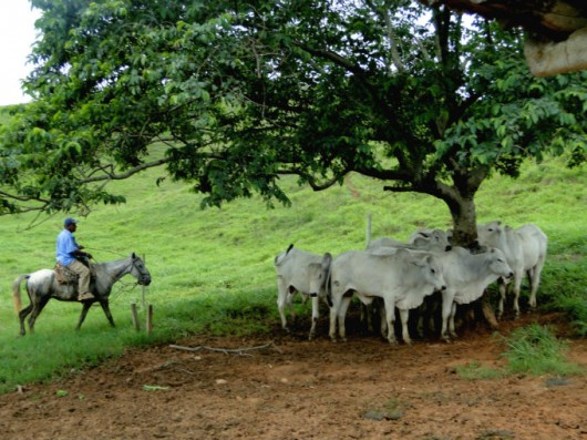 De vaqueiro a manejador de gado bovino