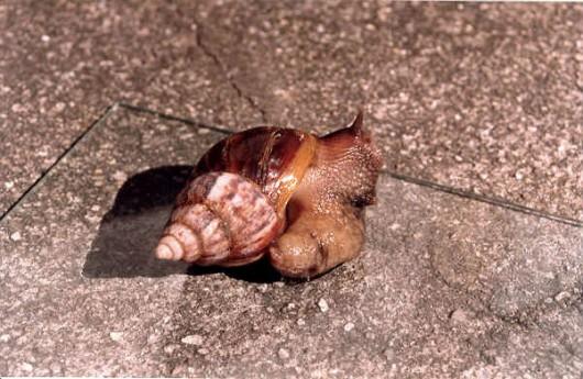 Criação de escargots - tecnologia correta (temperatura e umidade)