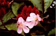 Cultivo de urucum - principais cultivares para fins comerciais