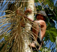 Produção de palmito de açaí - clima, solo, colheita e produtividade