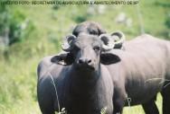 Criação de búfalos - principais aspectos