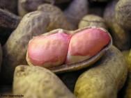 Produção de Amendoim - como determinar o ponto de colheita da vagem