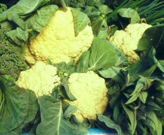 Como cultivar couve-flor orgânica