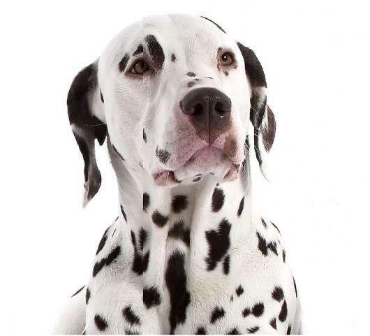 Raças de cachorro - Dálmata