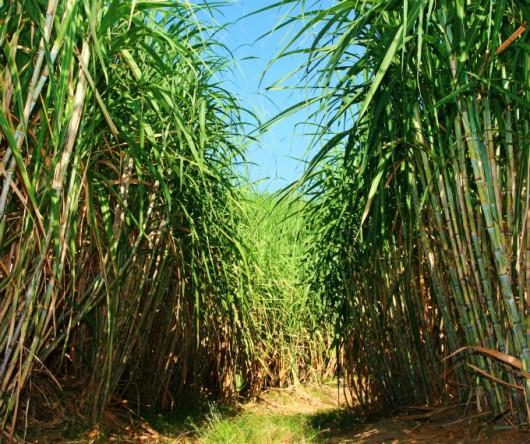 Cana-de-açúcar - principais variedades, qualidade e rendimento