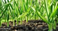 Alho orgânico - irrigação, capina e adubação em cobertura