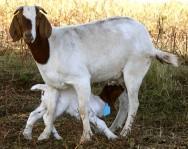 As cabras Boer são boas produtoras de leite, o que lhes permite aumentar a sua prole com sucesso. Foto: Reprodução