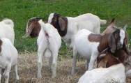 Aos 90 dias os cabritos já possuem peso para o abate. Foto: Reprodução
