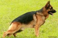 Raças de cachorro - Pastor Alemão