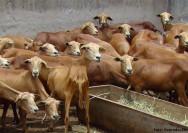 Os ovinos Morada Nova são totalmente deslanados e rústicos