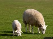 A raça de ovinos Texel é usada em diversos cruzamentos, no intuito de produzir maior quantidade e qualidade de carne nobre