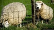 Curiosidade sobre a raça de ovinos Texel é o fato de a cabeça ser desprovida de lã. É coberta apenas por pelos brancos, sem brilho e curtos