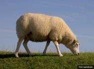O Texel é a raça de ovinos mais reprodutiva do mundo, já que a curto prazo podem se multiplicar em rítimo genético e gemealidade de 90%