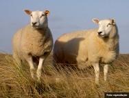 Ovinos Texel - características, aptidões da raça e potencial reprodutivo