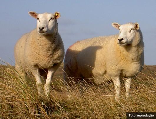 Ovinos Texel - características físicas, produção de lã e potencial reprodutivo