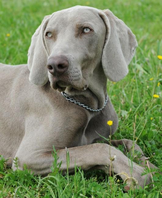 Raças de cachorro - Weimaraner (Braco de Weimar)