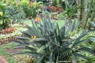 A Strelítzia pode ser cultivada em praticamente qualquer lugar que receba sol, tanto direto quanto indireto