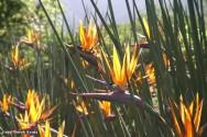 A Strelítzia vem conquistando o mercado, abrindo oportunidades de negócios para quem trabalha com plantas ornamentais