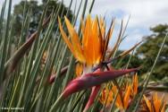 A floração da Strelícia acontece quando a planta atinge um porte adequado, ou seja, quando a planta é adulta