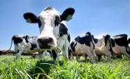 Aprenda Fácil Editora: Cuidados necessários na alimentação de vacas gestantes e novilhas